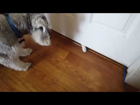 Too cute!  Mini Schnauzer meeting kitten for the first time!