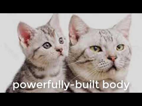 Aemerican cat video- american bobtail cat
