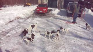 Akc German Shorthair Pointer Puppies For Adoption