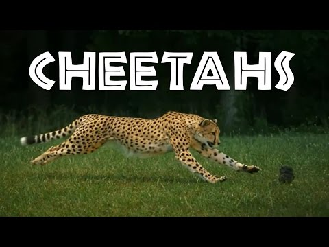 Cheetahs for Kids: Learn All About Cheetahs - FreeSchool