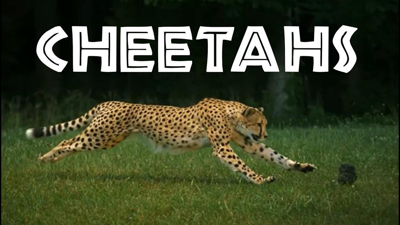 about cheetahs essay