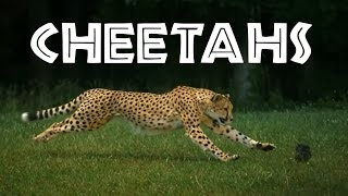 Cheetahs for Kids: Learn All About Cheetahs - FreeSchool(Have you ever wanted to know more about cheetahs? Where do cheetahs live? How fast does a cheetah run? What do cheetahs eat? Come see cheetahs run ..., 2016-01-16T07:21:52.000Z)