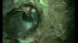 blue tit hatching egg