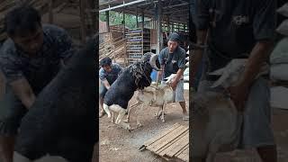 Cara mengawinkan domba lokal dgn domba garut yg sudah nyapih anakan
