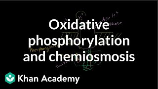 Oxidative Phosphorylation and Chemiosmosis