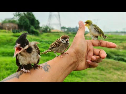 Xem phim Cú và chim se sẻ - Mang Chim Sẻ Xuống Nhân Tạ Mốt Thử Thách Thả Ra Tự Nhiên Xem Của Ai Sẽ Bỏ Đi / Quế Nghịch