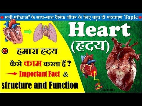 Human Heart (मानव हृदय) कैसे कार्य करता है (structure of heart) || heart diagram || class 12 ncert