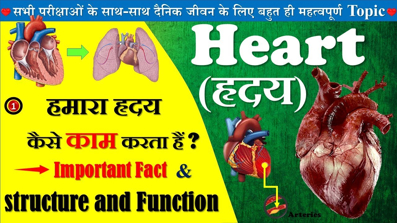 Human Heart (मानव हृदय) कैसे कार्य करता है (structure of ...