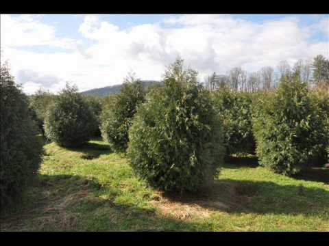 Growth Rate of Norway Spruce Trees