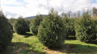 Growth Rate Norway Spruce Trees
