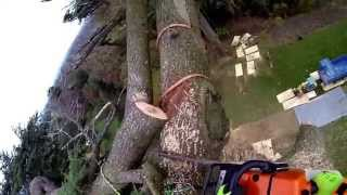 Arbor Venture Tree Care Rigging And Felling Large Trees