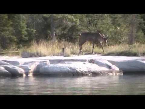 Woodland Caribou On Cormorant Lake
