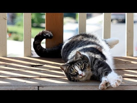 How to Care for American Shorthair Cats - Getting Proper Veterinary Care