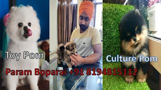 Pomeranian Dog ! pomeranian puppies! Culture Pom! Toy Pom! Puppies Available !! +91 8194815112
