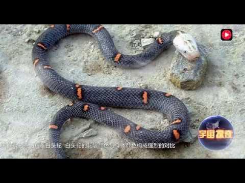 世界上最毒的蛇,就生活在青藏高原,沒有人能抓住活著的它!