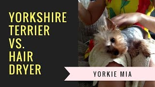 Yorkshire Terrier Mia vs. Hair Dryer   Uneven Fight