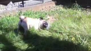 庭で遊ぶパグ。