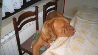 Dogue De Bordeaux Beki