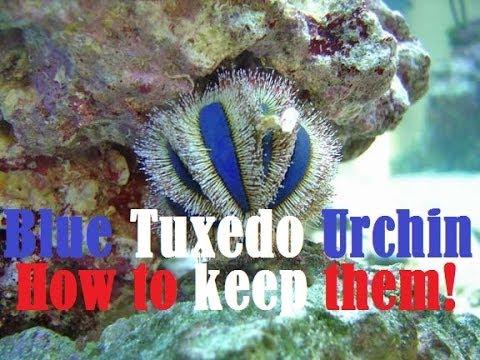 Blue Tuxedo Urchin Care