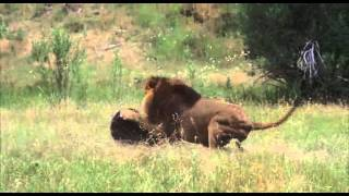 Male Lion vs Bear