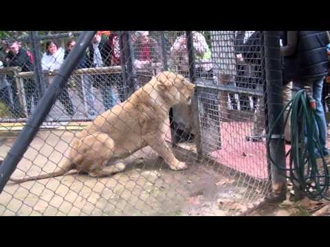 Thumbnail: Lion Feeding at the Adelaide Zoo