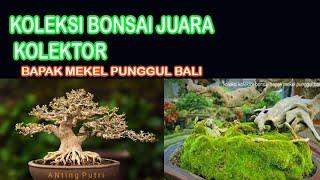 KOLEKSI BONSAI TERBARU BAPAK MEKEL PUNGGUL Bali