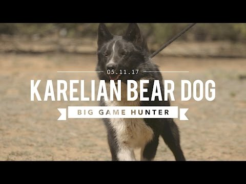 KARELIAN BEAR DOG: THE BIG GAME HUNTER