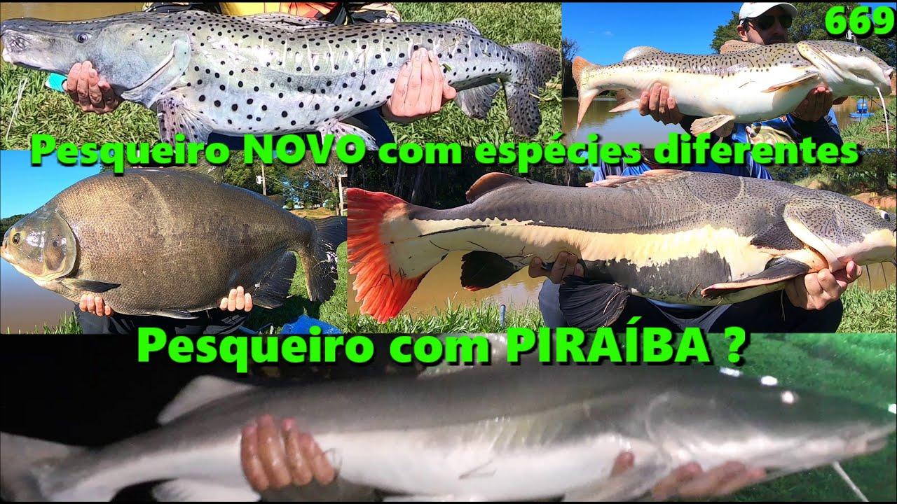Um Pesqueiro com espécies diferentes e até Piraíba ? - Pesque Pague Mangueira - Fishingtur na TV 669