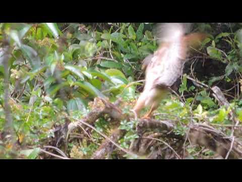Gavão-Carijo se alimentando de uma Amphisbaenia (Cobra-Cega)