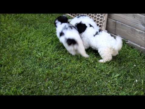 Havanese puppies in Ohio