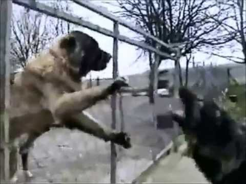 Top 3  MOST aggressive Dogs in the world - The Real Beasts (Video Clips)