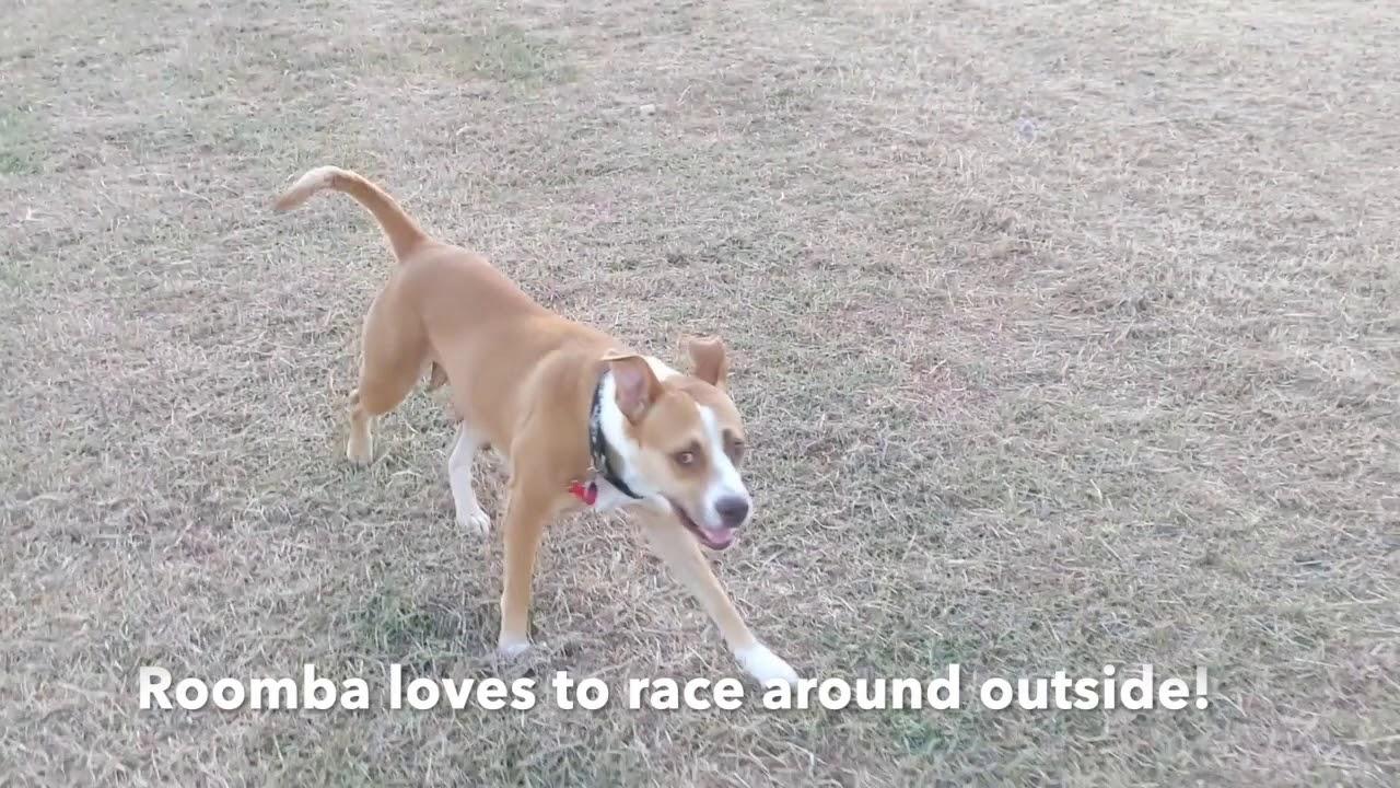 Texas Boxer Rescue - ADOPTIONS - Rescue Me!