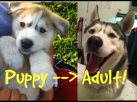 Huskies Grow Up Quick Puppy Videos And Pictures Youtube