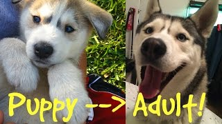 Huskies Grow Up Quick?! (Puppy Videos and Pictures!)