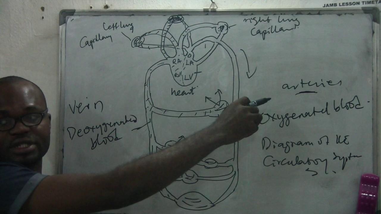 Diagram Of Circulatory System