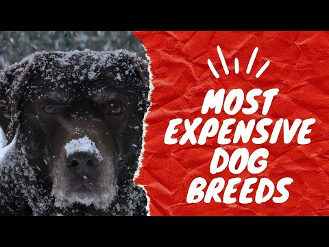 7 Most Expensive Dog Breeds in 2020   Who paid 1.5 M for a dog!