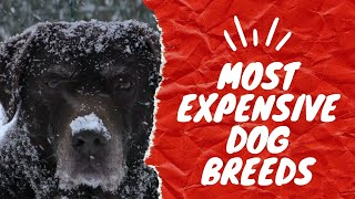 7 Most Expensive Dog Breeds in 2020 | Who paid 1.5 M for a dog!