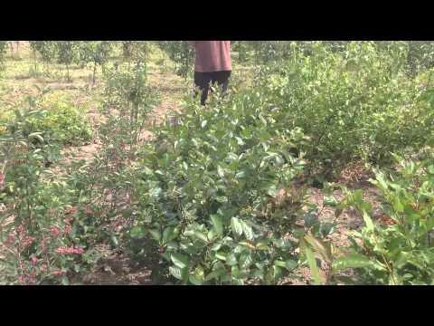 Черноплодная рябина - Полезные и опасные свойства