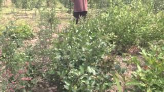Рябина черноплодная. Посадочный материал собственного производства.(Добрый день! Мы занимаемся выращиванием и продажей растений для ландшафтного дизайна. В ассортименте собст..., 2014-07-02T13:14:58.000Z)