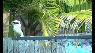 Kookaburra feeding with surrounding bird chorus