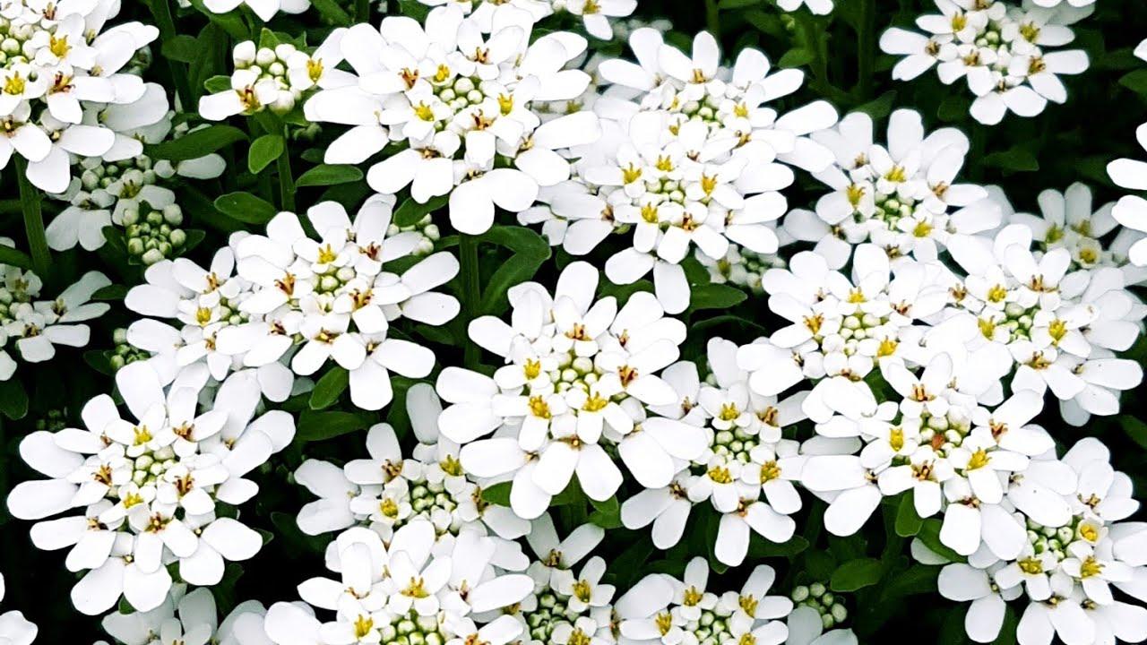 庭園花卉-地被 Candytuft 屈曲花 - YouTube