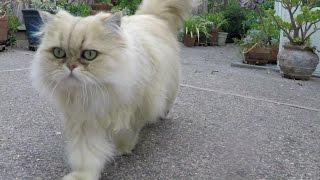 15 10 24 Walking with Persian kitty Sahara