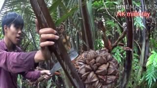 nhật k miền ty   lội sng tm v thưởng thức tri dừa nước    water coconut vietnam