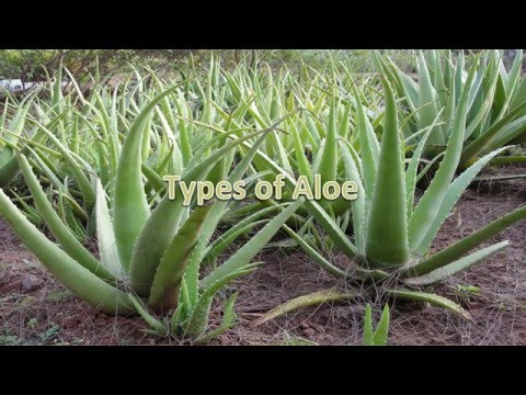 Aloe Vera the Wonder Plant Benefits as a Nutritious Dietary Superfood