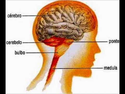Suficiente Sistema nervoso - YouTube LE18