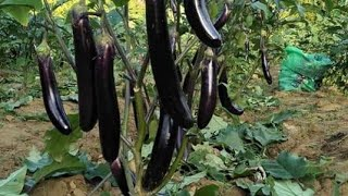 EGGPLANT (Talong)🍆🍆 FARMING 🍆🍆🍆 40,000.00 in¢ome per week