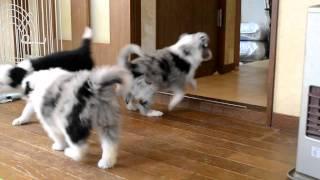 子犬の詳細☆http://crystalpeach05.wix.com/crypiti.