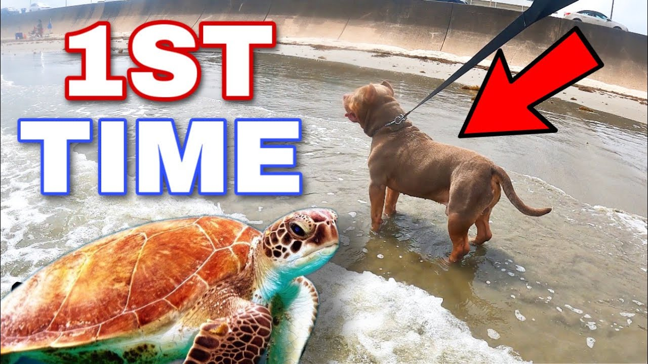 American Bully Dog Goes To Beach