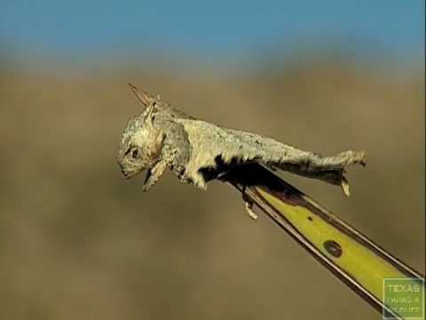 Loggerhead Shrike impales horned lizard - Texas Parks and Wildlife [Official]