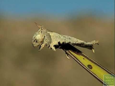 Loggerhead Shrike impales horned lizard - Texas Parks and Wildlife [Official]